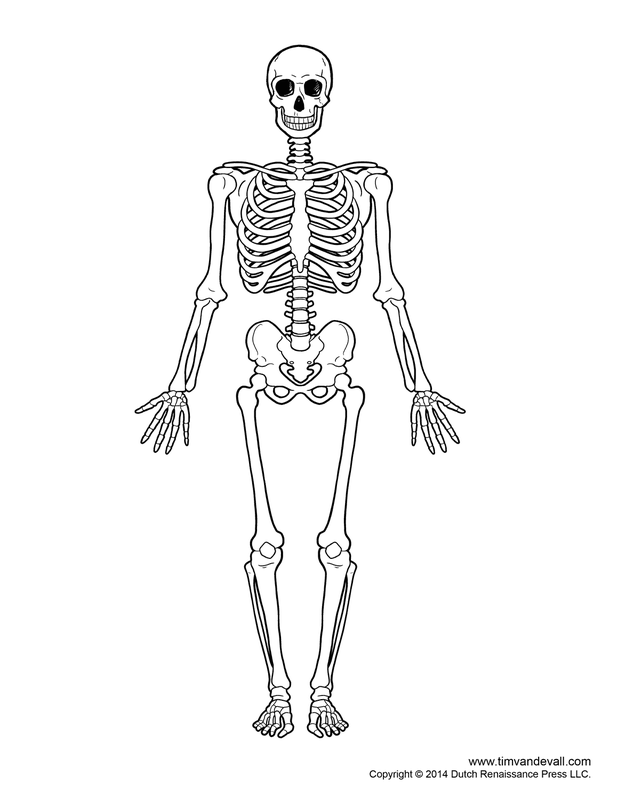 Right Foot Anatomy additionally Chicken Drumstick Anatomy Use For Pdf further Membre Inferieur Schemas moreover  moreover Labeled Skeleton Diagram Skeleton. on human anatomy bones diagram