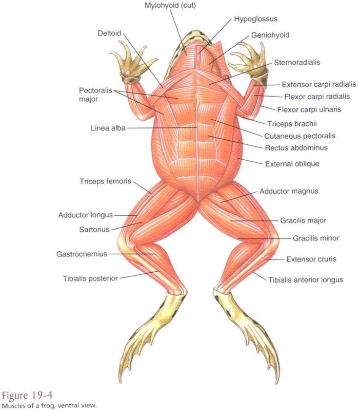 frog and human anatomy comparison ms pearrow 39 s 7th grade science : frog muscle diagram - findchart.co