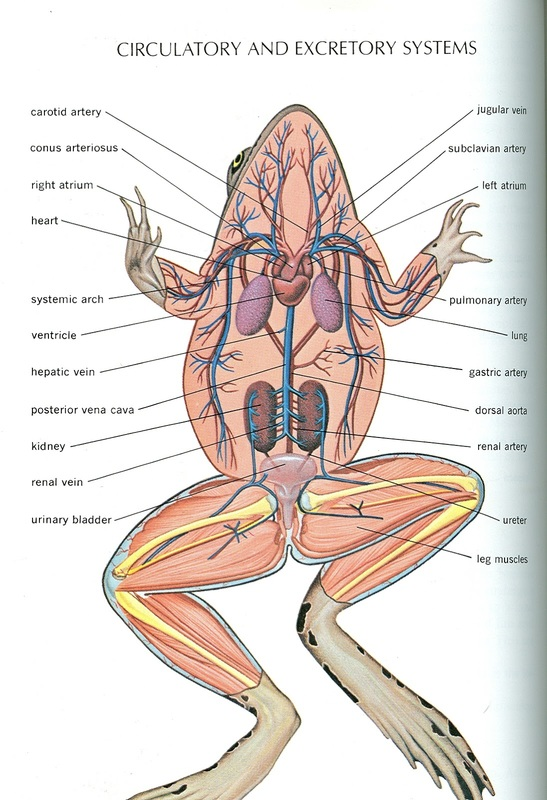 Frog and Human Anatomy Comparison Ms Pearrows 7th Grade Science – Frog Anatomy Worksheet