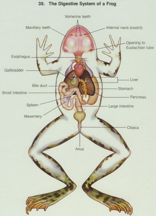 frog anatomy diagram labeled frog and human anatomy comparison ms pearrow s 7th grade science  frog and human anatomy comparison ms