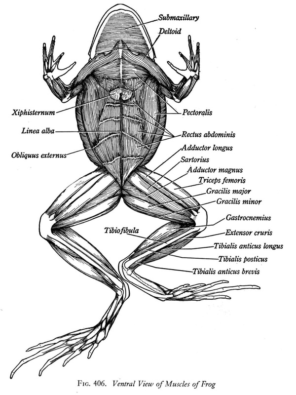 Frog And Human Anatomy Comparison Ms Pearrows 7th Grade Science