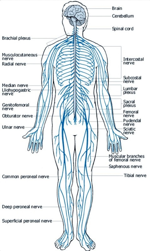 Frog and human anatomy comparison ms pearrows 7th grade science when put together the skeletal system provides the base framework to which all the other tissues and organs attach giving shape to the human body ccuart